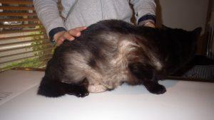 猫の過剰グルーミングによる脱毛